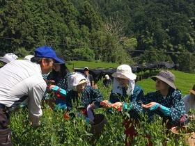 静岡茶発祥の地 足久保お茶摘み手伝い(てんだい)ツアー