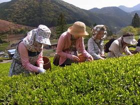 2014 新茶ツアー 静岡茶発祥の地足久保で茶摘みの手伝(てんだ)い Vol.1