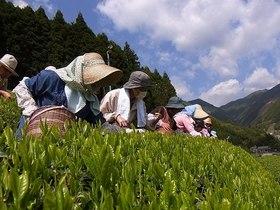 静岡茶発祥の山里で茶農家入門2011.04.29 その1