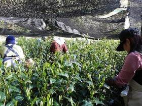 緊急募集!! 森内茶農園 全国茶品評会出品茶のお茶摘み手伝いツアー