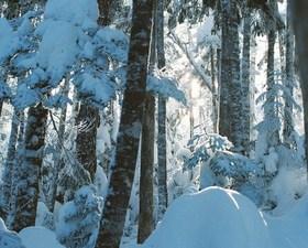 冬の森に親しむ 富士山腹スノーハイク