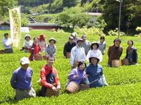 静岡茶発祥の地でお茶摘み手伝い(てんだい)