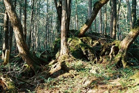 富士山原始林と青木ヶ原樹海 下山トレッキング