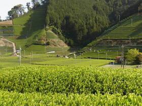 極上の静岡本山茶を求めて農家訪問~森内茶農園