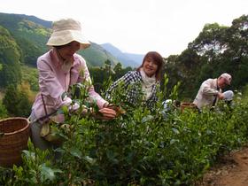 徳川家康公御用茶の里でお茶摘み手伝いツアー(静岡市葵区)